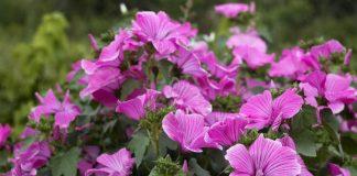 Лаватера, или дикая роза — неподражаемый летник второй половины лета
