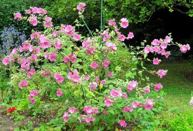 Лаватеру можно выращивать на клумбах для летников, а можно вводить во все виды цветников с многолетниками, как продолжительно цветущий акцент