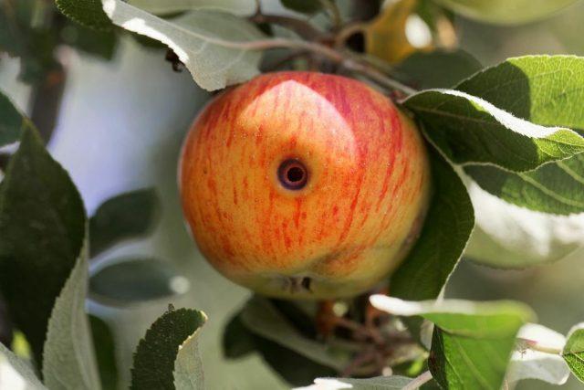 Летние вредители сада — как защитить урожай?