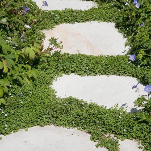 Корсиканская мята хорошо подходит для посадки возле ступеней, на подпорных стенках или возле дорожек
