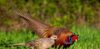 Разведение фазанов — просто, прибыльно, интересно