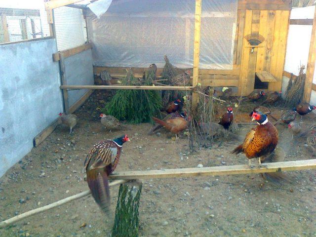 Важно, чтобы вольер для фазанов был защищен со всех сторон