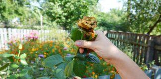 Тонкости летней обрезки цветника