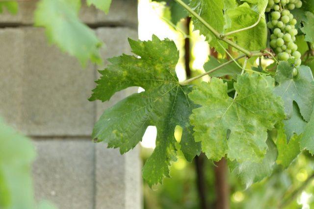 Признаки дефицита молибдена у винограда