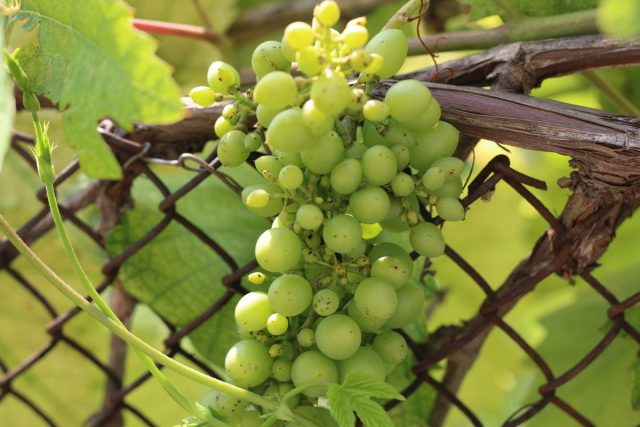 Недостаток бора у винограда