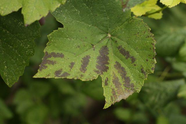 Красно-фиолетовые пятна на листьях винограда при недостатке фосфора