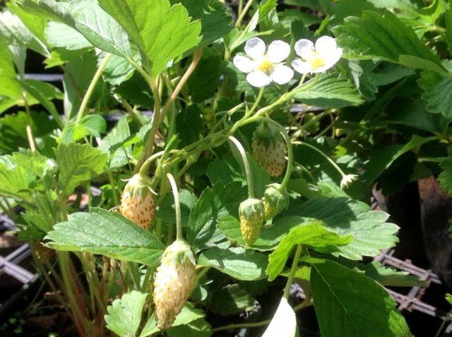 Особых требований к условиям выращивания белоплодные сорта не предъявляют
