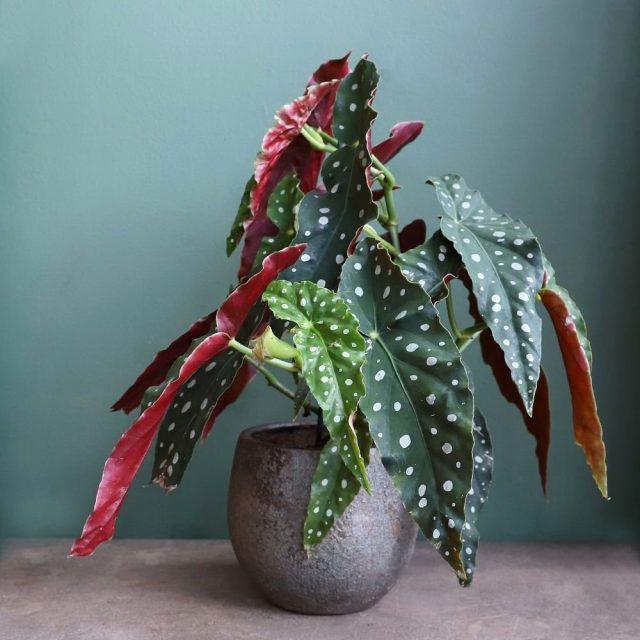 Бегония пятнистая (Begoniamaculata)