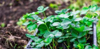 7 шагов к получению качественной рассады земляники садовой