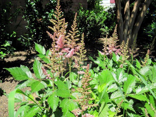 Астильба — лучший многолетник для полутенистых уголков сада