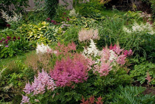 Астильбы в саду