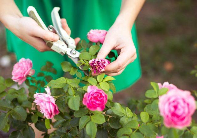 Своевременная срезка соцветий и аккуратность с поливами — обязательны в уходе за розами в конце сезона