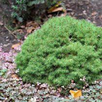 Ель канадская (Picea glauca), сорт «Альберта глоб» (Alberta Globe)