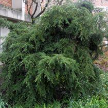 Тсуга канадская (Tsuga Canadensis), сорт «Пендула» (Pendula)