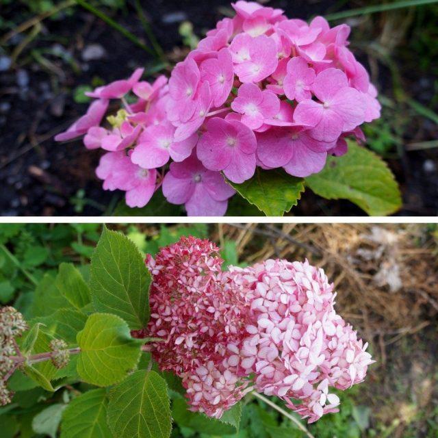 Вверху показана гортензия крупноцветковая (Hydrangea macrophylla), внизу — гортензия древовидная (Hydrangea arborescens)
