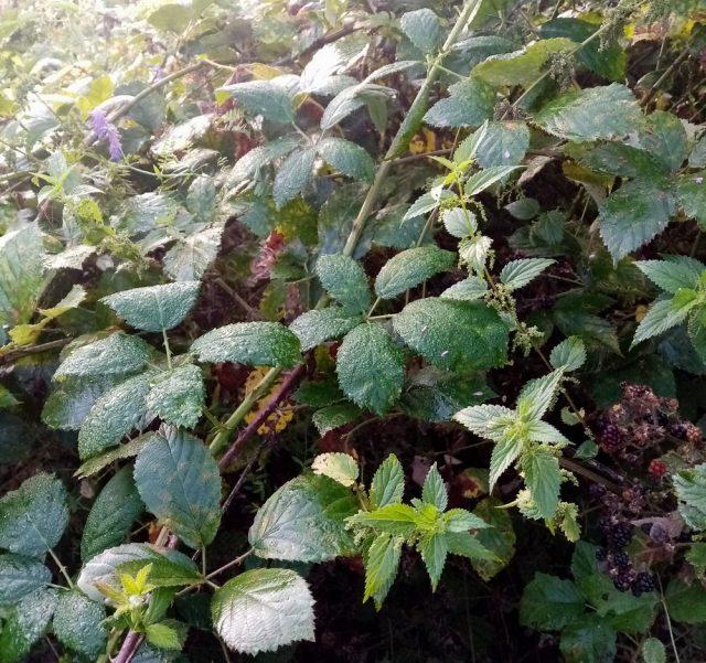 Заросли дикой ежевики (Rubus fruticosus)