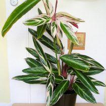 Ктенанта Оппенгейма (Ctenanthe oppenheimiana)