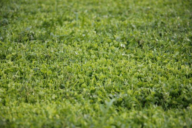 Микроклевер (Trifolium repens) после покоса.