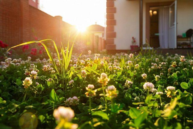 Микроклевер — идеальный газон для малоуходного сада