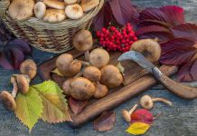 Опята осенние — как распознать и приготовить?