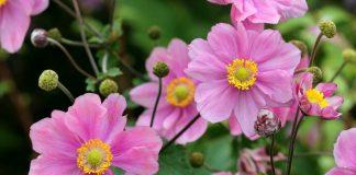 Осенние анемоны — трогательное украшение цветников конца сезона