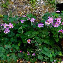 Анемона винограднолистная (Anemone vitifolia)