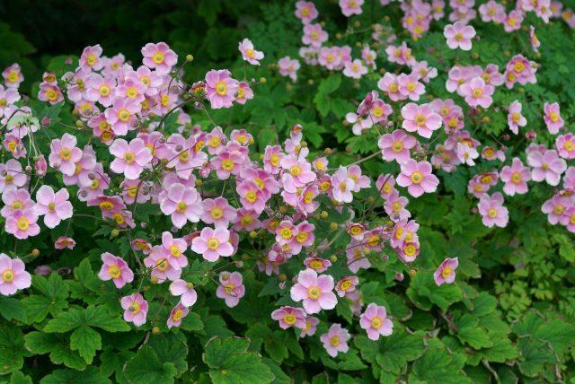 Анемона хубэйская (Anemone hupehensis)