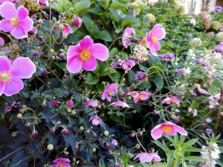 Анемона (Anemone), сорт «Сэтэмбэ Шарм» (September Charm)