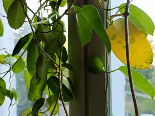 Почему желтеют листья у стефанотиса?