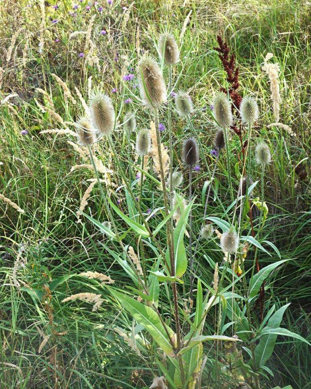У ворсянки нередко можно встретить куртины, объединяющие погибшие старые растение прошлых лет и молодые цветущие