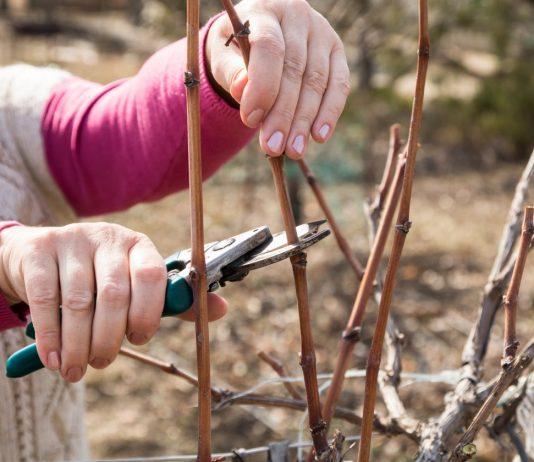 Обрезка винограда осенью — правила черенкования