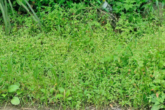 Галинзога активно размножается и конкурирует с культурными растениями за воду, питание и свет