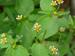 Галинзога мелкоцветковая (Galinsoga parviflora)