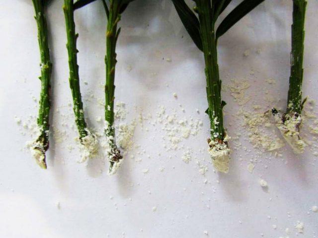 Регулирующие препараты в том числе стимулируют процессы роста корней и побегов