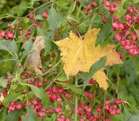 Какие декоративные кустарники цветут осенью?