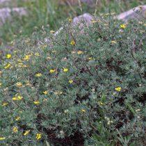 Лапчатка, или пятилисточник кустарниковый (Dasiphora fruticosa)
