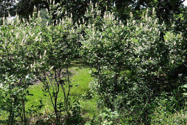 Клетра (Clethra alnifolia), сорт «Септембер Бьюти» (September Beauty)