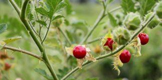 Колючий томат личи — мой опыт выращивания