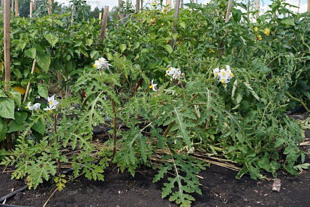 Паслен гулявниколистный (Solanum sisymbriifolium)