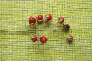Созревшие плоды личи томата