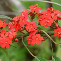 Молочай сверкающий (Euphorbia fulgens)