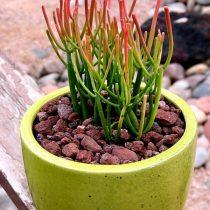 Молочай тирукалли (Euphorbia tirucalli)