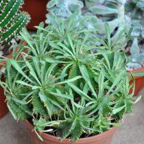 Молочай дыневидный (Euphorbia meloformis)