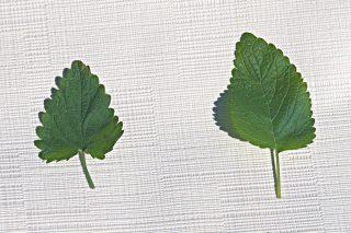 Слева — лист котовника, справа — лист мелиссы