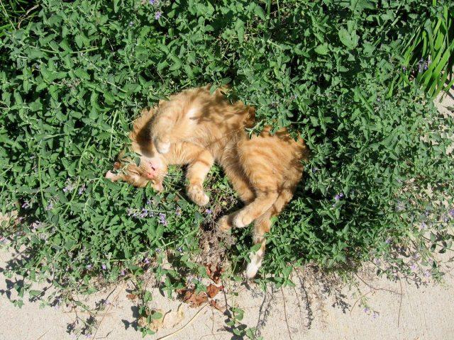 Название «кошачья мята» связано с сильным влечением к растению представителей семейства кошачьих