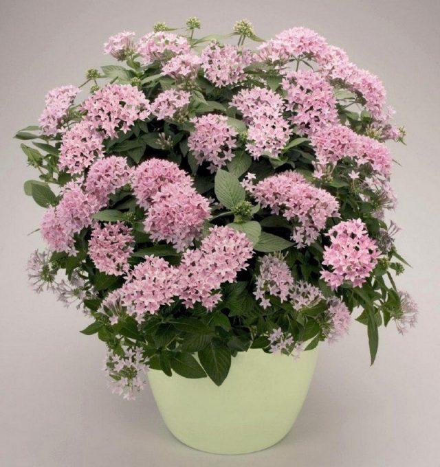 Для продолжительного цветения у пентаса нужно своевременно удалять увядающие соцветия