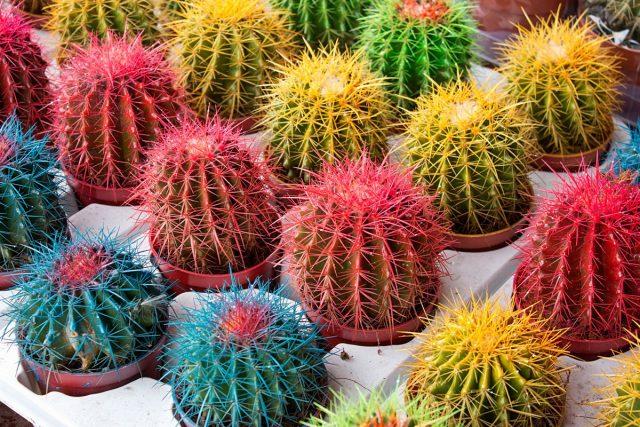 Не все кактусы способны цвести