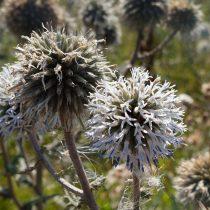 Мордовник шароголовый (Echninops sphaerocephalus) — цветение