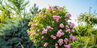 Штамбовая роза — как выбрать, посадить и ухаживать