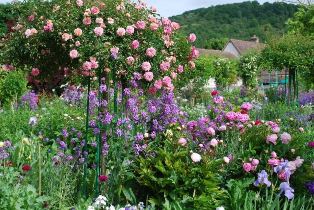 Штамбовая роза в цветнике